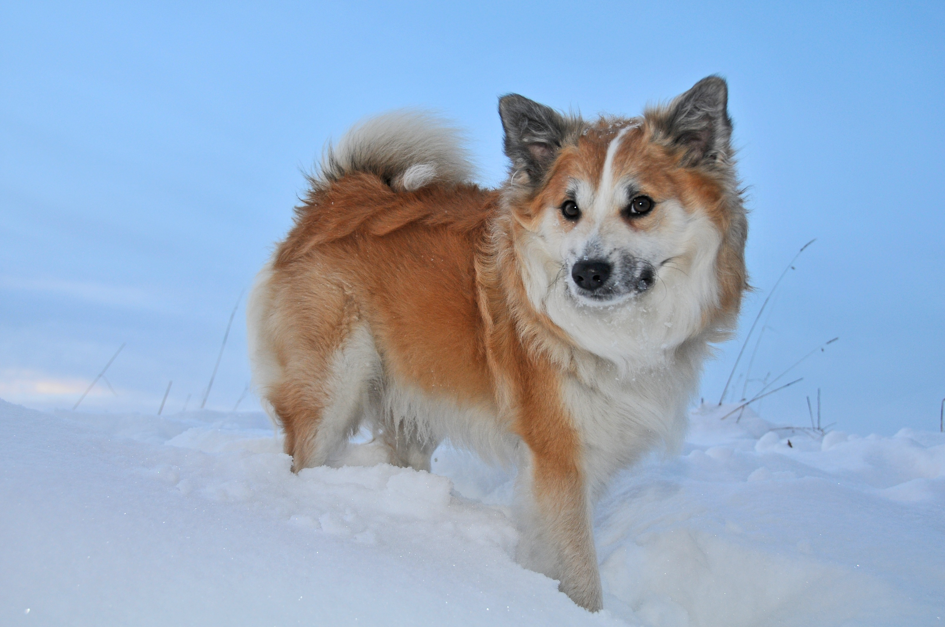 snow-cold-winter-dog-fur-whiskers-1377356.jpg
